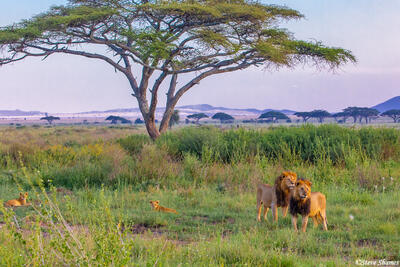 Africa-Lion Pride Males