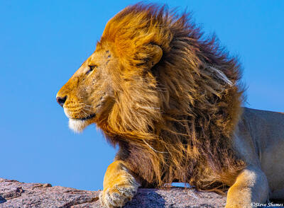 Africa-Lion Side View