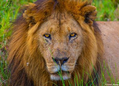 Africa-Lion Staring