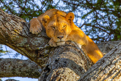 Africa-Lioness in a Tree