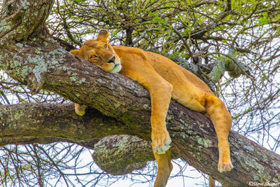 Africa-Lounging Lioness
