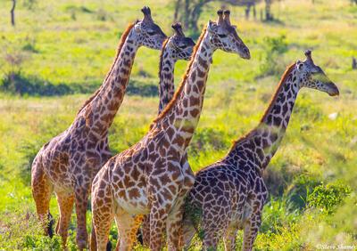 Africa-Masai Giraffes