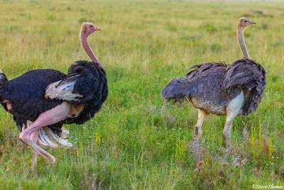 Africa-Male and Female Ostrich
