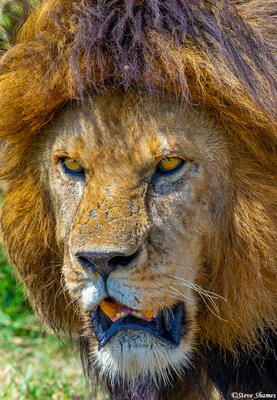 Africa-Male Lion Face