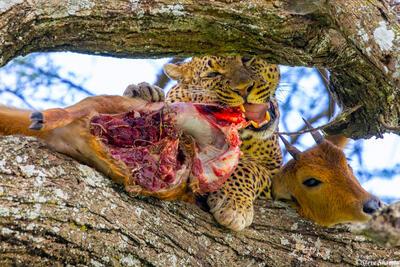 Africa-Reedbuck Meal