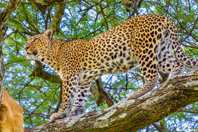 Africa-Serengeti Leopard