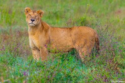 Africa-Serengeti Lioness