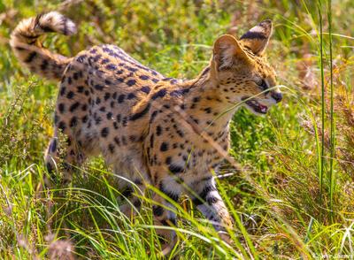 Africa-Serengeti Serval Cat