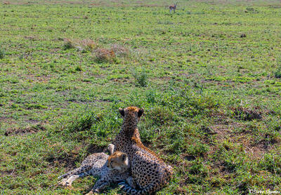 Africa-Cheetah Chase 01