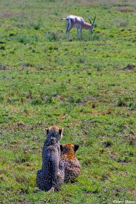 Africa-Cheetah Chase 02