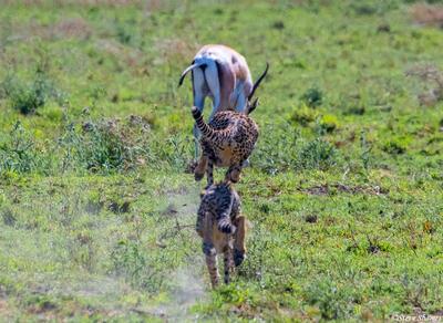 Africa-Cheetah Chase 03