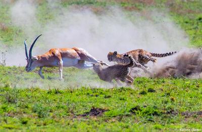 Africa-Cheetah Chase 04