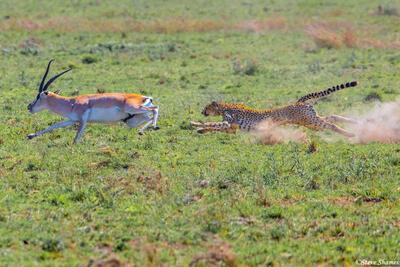 Africa-Cheetah Chase 06