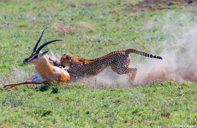 Africa-Cheetah Chase 08