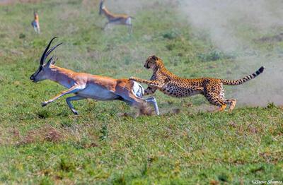 Africa-Cheetah Chase 09