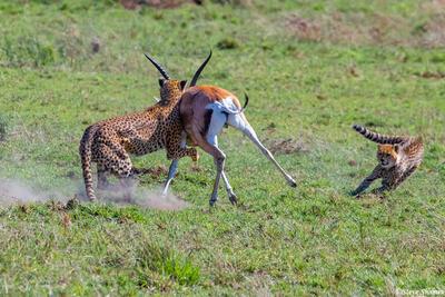 Africa-Cheetah Chase 10