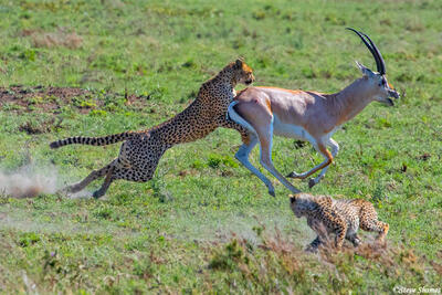 Africa-Cheetah Chase 11