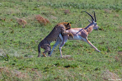 Africa-Cheetah Chase 12