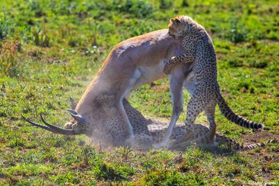 Africa-Cheetah Chase 13