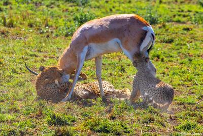 Africa-Cheetah Chase 14