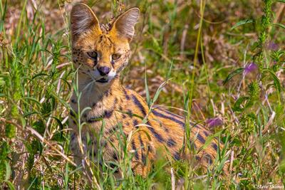 Africa-Serval