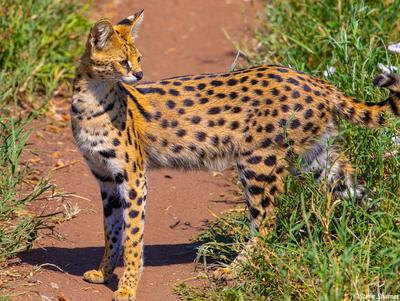 Africa-Serval Cat