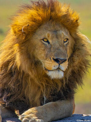 Africa-Stately Lion