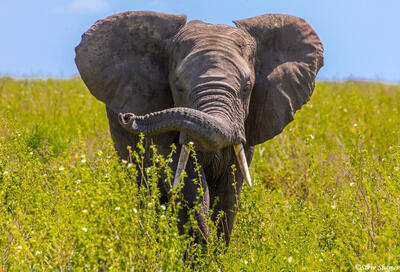 Africa-Twisty Elephant Trunk