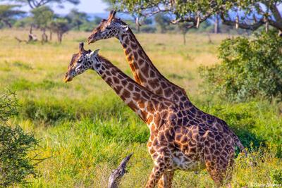 Africa-Two Giraffes