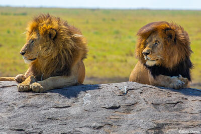 Africa-Two Lion Brothers