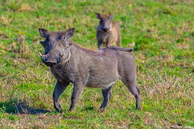 Africa-Warthogs