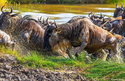 Africa-Wildebeest in Water