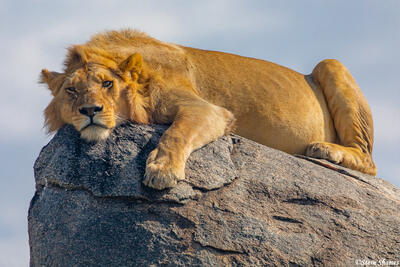 Africa-Young Lion On Rocks