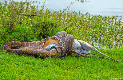 african python, swallowing gazelle, masai mara, national reserve, kenya