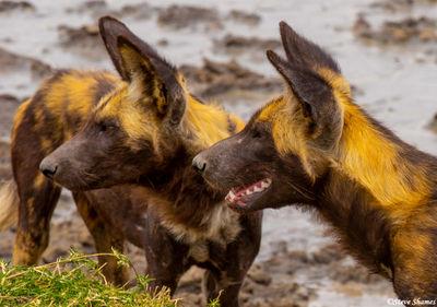 african wild dogs, large predators, serengeti, tanzania