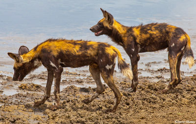 serengeti, african wild hunting dogs, colorful animals