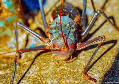 zimbabwe, armored ground cricket, dung beetle