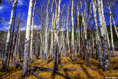 rocky mountain national park, colorado, white aspen trees