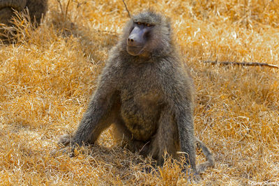 lake nakuru, baboon, national park, kenya,