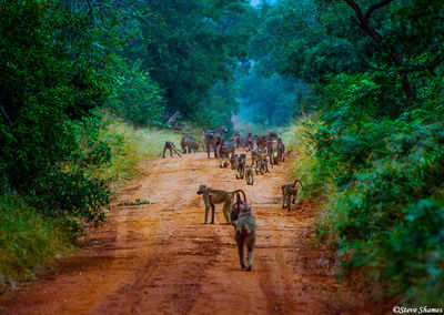 zimbabwe, troop of baboons