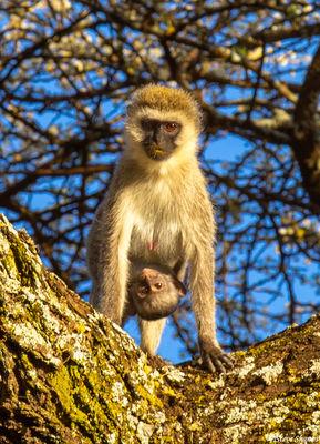 serengeti, tanzania, baby monkey