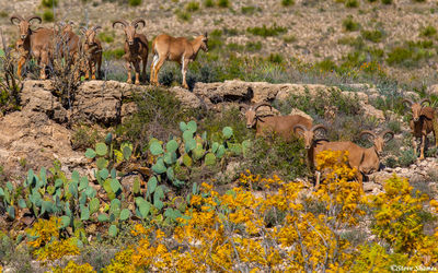 walnut canyon desert drive, barbary sheep, carlsbad caverns, national park, new mexico