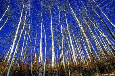 rocky mountain national park, colorado, aspen trees, blue sky