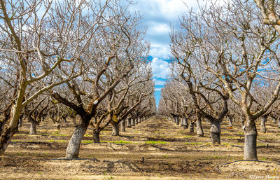 yolo county, farmlands, orchard, bare branches