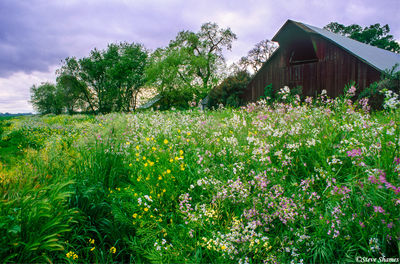 wild radish, sacramento valley, california