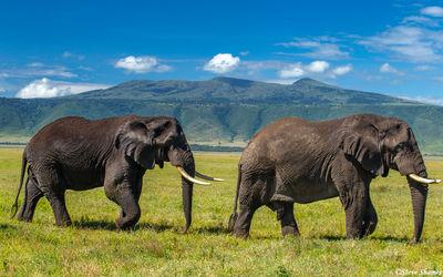 ngorongoro crater, big bull elephants tanzania