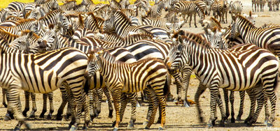 serengeti, national park, tanzania, cluster of zebras