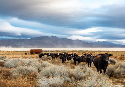 curious cows, black rock desert, nevada