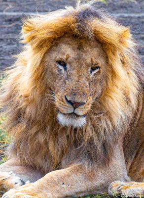 serengeti, national park, tanzania, sleepy lion, blondie