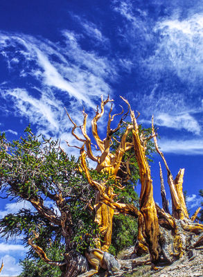 ancient, bristlecone pine, barren forest oldest living things